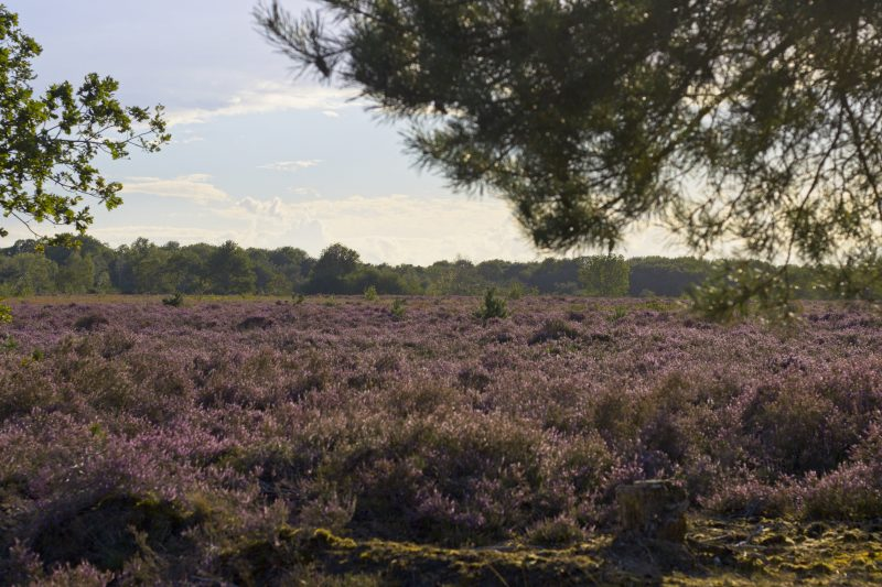 Week #40 - Bloeiende Heide - Flowering Heather